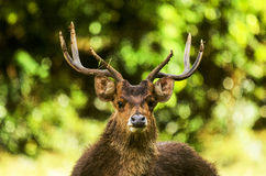 Mauritian Stag belling Stock Photography