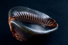 mauritiana cypraea Стоковые Изображения RF