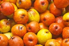 Mauritiana Ziziphus, Chinee Apple, Jujube, ινδικό δαμάσκηνο Στοκ εικόνες με δικαίωμα ελεύθερης χρήσης