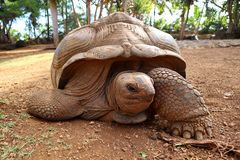 Mauritische Schildkröte stockfotos
