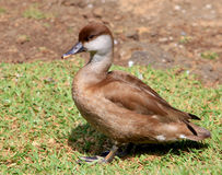 Mauritiun duck Royalty Free Stock Image