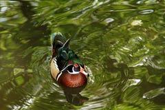 Mauritiun duck Stock Images