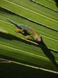 Mauritius daggecko på bladet Royaltyfri Bild