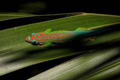 Mauritius daggecko på bladet Arkivbilder