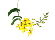 Mauritius flowers. Yellow Mauritius flowers over white background Stock Photography