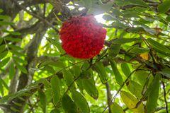 Mauritius Gardens, una passeggiata attraverso i giardini botanici per trovare i fiori tropicali fotografie stock