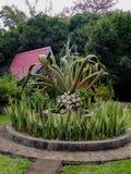 Mauritius-Hanf, furcraea, Grünpflanze Stockbilder
