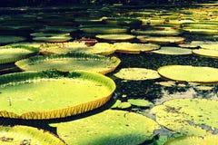 mauritius Lirio de agua de Giants - amazonica de Victoria imágenes de archivo libres de regalías
