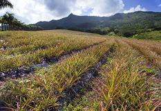 Mauritius. Plantations Of Pineapples Stock Image