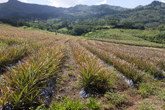 Mauritius. Plantations Of Pineapples. Royalty Free Stock Photo