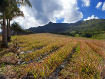 Mauritius. Plantations of pineapples in a hilly terrain.Landscape in a sunny day Stock Photo