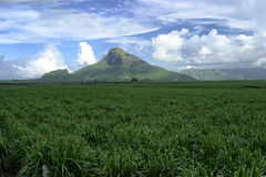 Mauritius sugar cane. A sugarcane plantation in February in Mauritius royalty free stock photos