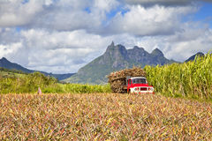 Mauritius. Truck with Sugar cane at Mauritius. In front a pinapple field, background the mountains of the island Stock Images