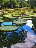 Mauritius Victoria amazonica Royalty Free Stock Photo