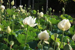 Mauritius. White lotuses in Pamplemousses Botanical Garden. Royalty Free Stock Photography