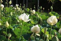 mauritius Witte lotuses in de Botanische Tuin van Pamplemousses Royalty-vrije Stock Fotografie