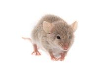 Maus Stockbild