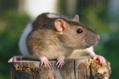 Maus auf dem Stummel Lizenzfreies Stockfoto