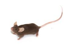Maus auf einem weißen Hintergrund Lizenzfreies Stockbild