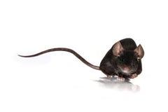 Maus auf einem weißen Hintergrund Stockfotos