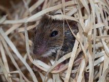Maus in den Holzwollen stockfotografie
