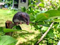Maus, die auf Anlage sitzt Stockfotografie