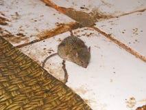 Maus, die auf dem Boden läuft lizenzfreies stockbild