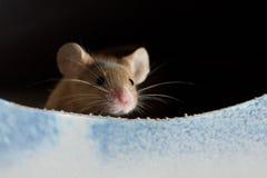 Maus, die heraus späht Lizenzfreie Stockbilder