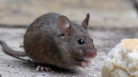 Maus, die im städtischen Hausgarten isst stock footage