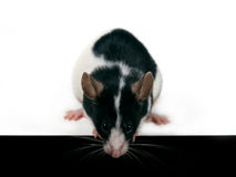 Maus, die unten schaut Lizenzfreies Stockfoto