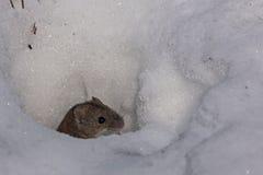 Maus, die von unterhalb des Schnees herauskommt stockbild