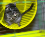 Maus im Hutch stockbilder