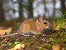 Maus im Wald Stockfotos