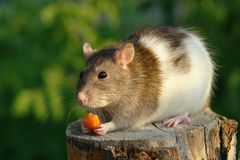 Maus mit einer Karotte stockfoto