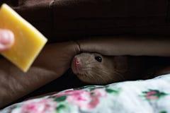 Maus stößt seine Nase heraus von unterhalb der Decken, die vom Käse gerochen werden lizenzfreies stockbild
