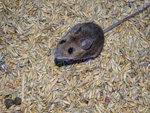 Maus und Hafer Stockfoto