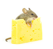 Maus und Käse Stockfoto