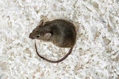 Maus zerstören einige Dokumente stockfotos