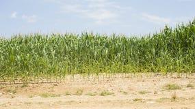 Mauvais élevage de maïs Photographie stock libre de droits