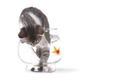 Mauvais chat dans un Fishbowl se conduisant mal photographie stock libre de droits