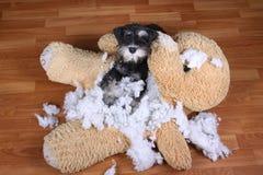 Mauvais jouet de peluche détruit de schnauzer par chien vilain Photo libre de droits
