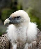 Mauvais vautour Images libres de droits