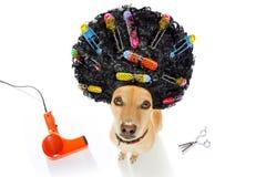 Mauvaise coiffure sur des chiens Photographie stock