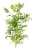 Mauvaise herbe d'ananas ou camomille sauvage ou discoidea de Matricaria d'isolement sur le fond blanc Plante médicinale Image stock