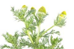 Mauvaise herbe d'ananas ou camomille sauvage ou discoidea de Matricaria d'isolement sur le fond blanc Plante médicinale Photos libres de droits