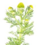 Mauvaise herbe d'ananas ou camomille sauvage ou discoidea de Matricaria d'isolement sur le fond blanc Plante médicinale Photographie stock
