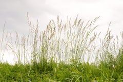 Mauvaise herbe dans l'heure d'été Images stock