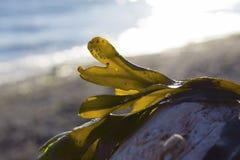 Mauvaise herbe de mer sur une plage Photos stock