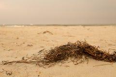 Mauvaise herbe de plage Images libres de droits