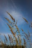 Mauvaise herbe de vulpin Image stock